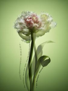 Tulipe frangée - Carte de vœux
